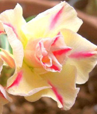Adenium obesum Sugared Lilac Karoo rose - Desert rose - Impala lily Sugared Lilac seeds