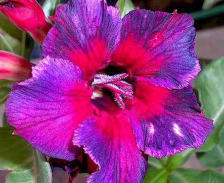 Adenium obesum Thailand Karoo rose - desert rose - impala lily seeds