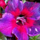 Adenium obesum Thailand  semillas