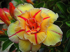 Adenium obesum Tongake Karoo rose - desert rose - impala lily seeds