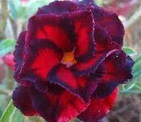 Adenium obesum Triple Manificent Karoo rose - Desert rose - Impala lily Triple Manificent seeds