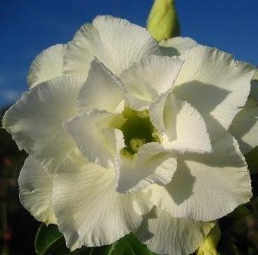Adenium obesum Whitehouse Karoo rose - desert rose - impala lily seeds