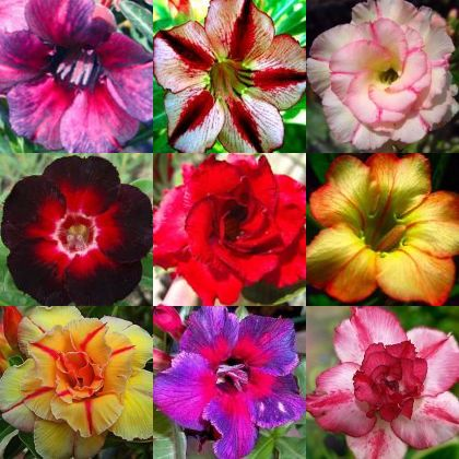 Adenium obesum mixed colours Desert rose mixed colours seeds