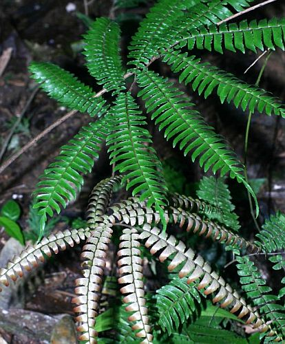 Adiantum tetraphyllum Four-leaved Maidenhair Fern seeds