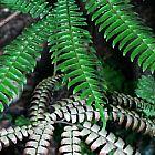 Adiantum tetraphyllum Foug?re ? quatre feuilles graines