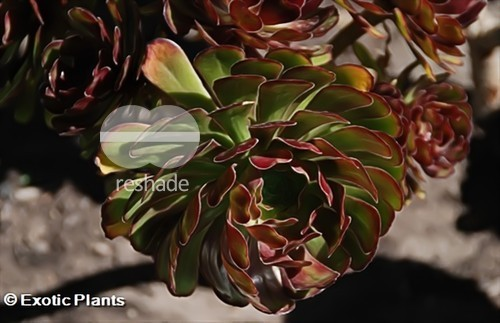Aeonium arboreum atropurpureum black tree aeonium seeds