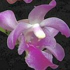 Aerides crassifolia orchidea rosa semi