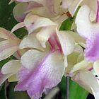Aerides falcata Orchideen Samen