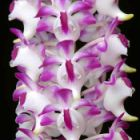 Aerides lawrenceae  semi