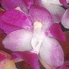 Aerides multiflora rosa orqu?dea semillas