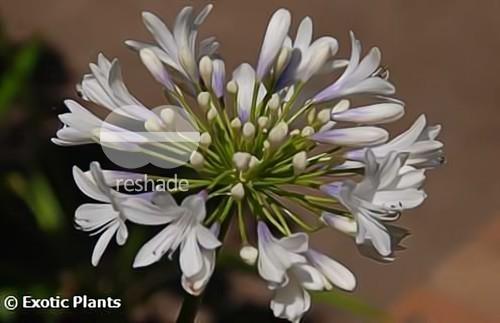 Agapanthus Selma Bock african-lily seeds