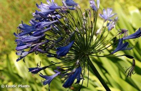 Agapanthus africanus African Lily seeds