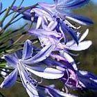 Agapanthus africanus Schmucklilie Samen