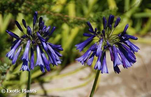 Agapanthus inapertus hollandii Lydenburg african-lily seeds