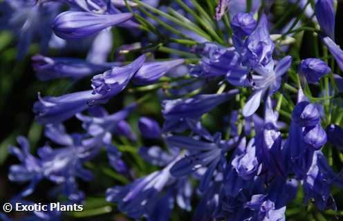 Agapanthus praecox african-lily seeds