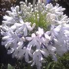 Agapanthus praecox medium white  semillas