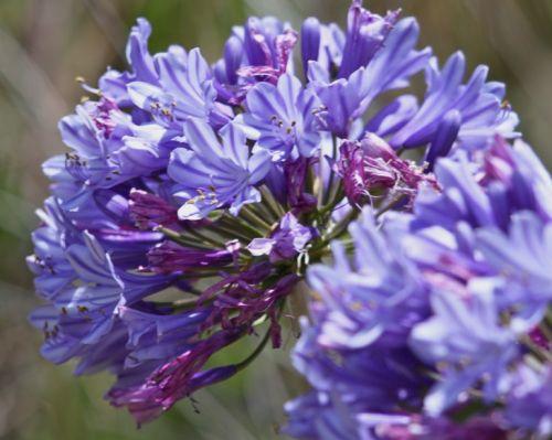 Agapanthus praecox ssp orientalis dwarf blue african Lily seeds