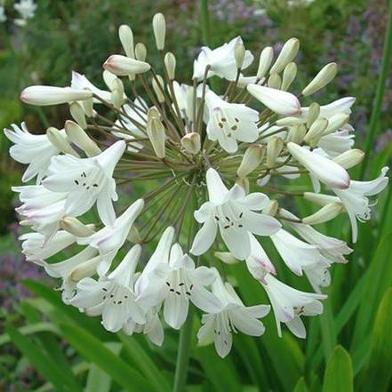 Agapanthus praecox ssp orientalis tall white African lily - common agapanthus - lily of the Nile seeds