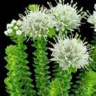 Agathosma apiculata  semillas
