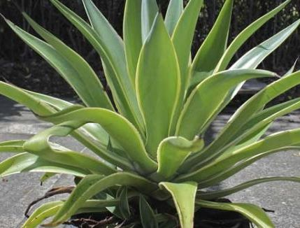Agave desmettiana Smooth Agave - Dwarf Century Plant seeds