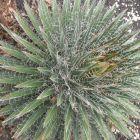 Agave multifilifera Chahuiqui graines