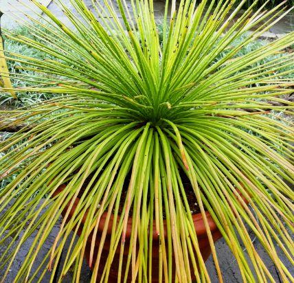 Agave ornithobroma Grass-Like Agave seeds