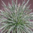 Agave schidigera White Stripe  semi