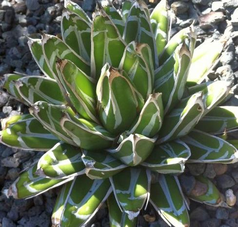 Agave victoriae-reginae Huasteca Canyon Queen Victoria Agave -  Royal Agave seeds