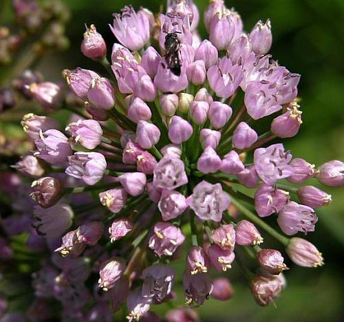 Allium dregeanum Wild Onion seeds