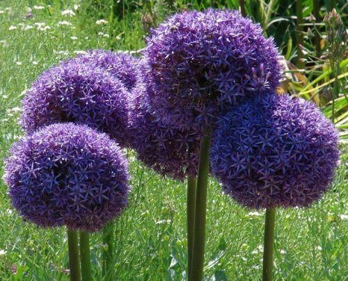 Allium giganteum Giant Onion - Persian Onion seeds