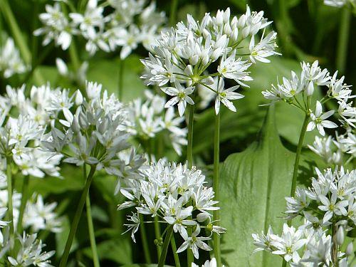 Allium ursinum Ramsons - Buckrams - Wild garlic seeds