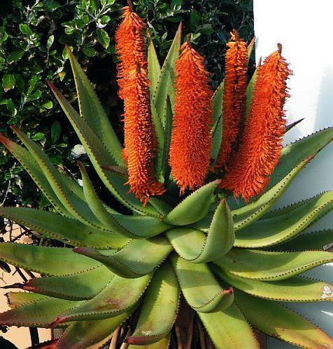 Aloe africana african aloe seeds