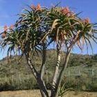 Aloe bainesii  semillas