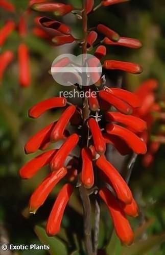 Aloe ciliaris climbing Aloe seeds