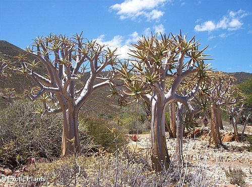 Aloe dichotoma quiver tree seeds