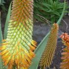 Aloe ferox x thraskii