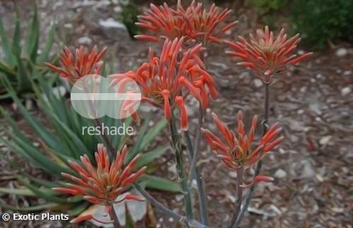 Aloe maculata soap Aloe - zebra Aloe seeds