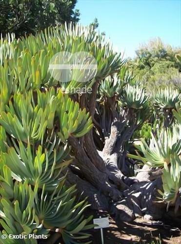 Aloe plicatilis fan Aloe seeds