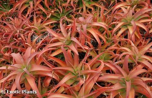 Aloe vanbalenii Aloe seeds