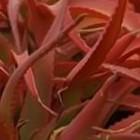 Aloe vanbalenii Aloe Samen