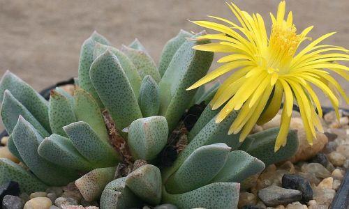 Aloinopsis orpenii syn: Prepodesma orpenii seeds