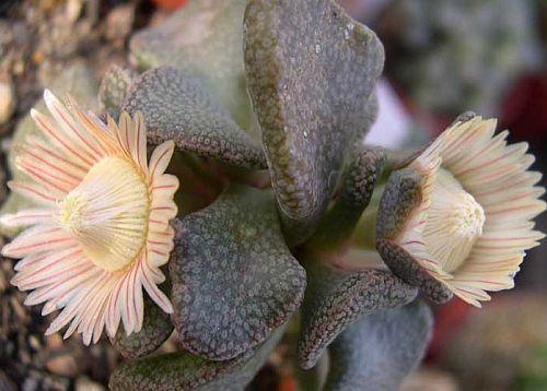 Aloinopsis rosulata synonym:Acaulon rosulatum, Aistocaulon rosulatum, Mesembryanthemum rosulatum, Nananthus rosulatus seeds