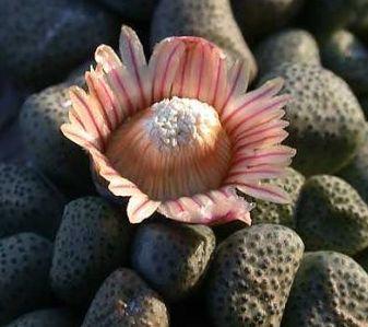 Aloinopsis schooneesii var schooneesii Mesembs seeds