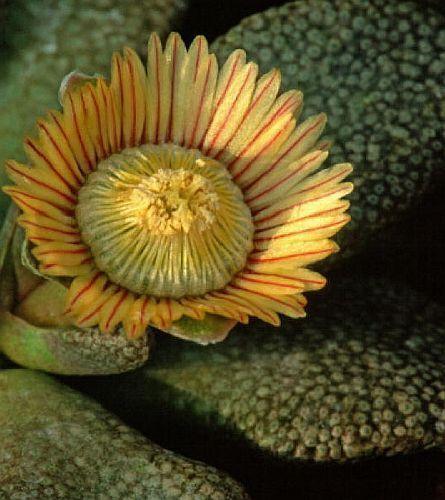 Aloinopsis setifera synonym: Titanopsis setifera seeds