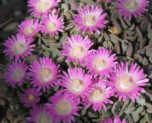 Aloinopsis spathulata synonym:Nananthus spathulatus, Titanopsis spathulata, Nananthus crassipes, Titanopsis crassipes, Alo seeds