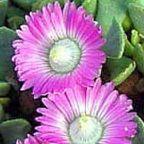 Aloinopsis spathulata Mesembryanthemen Samen