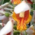 Alpinia mutica Kleine Muschel Samen