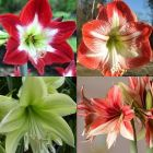 Amaryllis dutchhybrid mixed