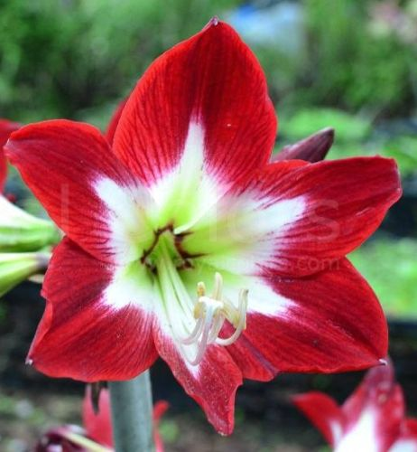 Amaryllis red with greenish centre Hippeastrum  red with greenish centre seeds