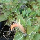 Anacampseros arachnoides syn: Portulaca arachnoides Samen